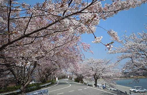 五十鈴川桜_13.jpg