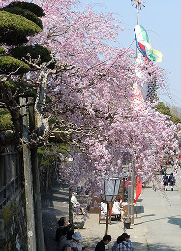 五十鈴川桜_32.jpg